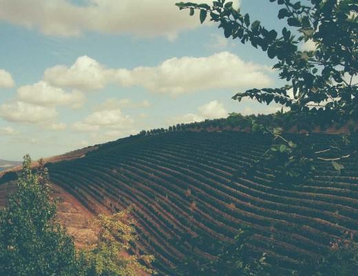 cabernet sauvignon grape overview
